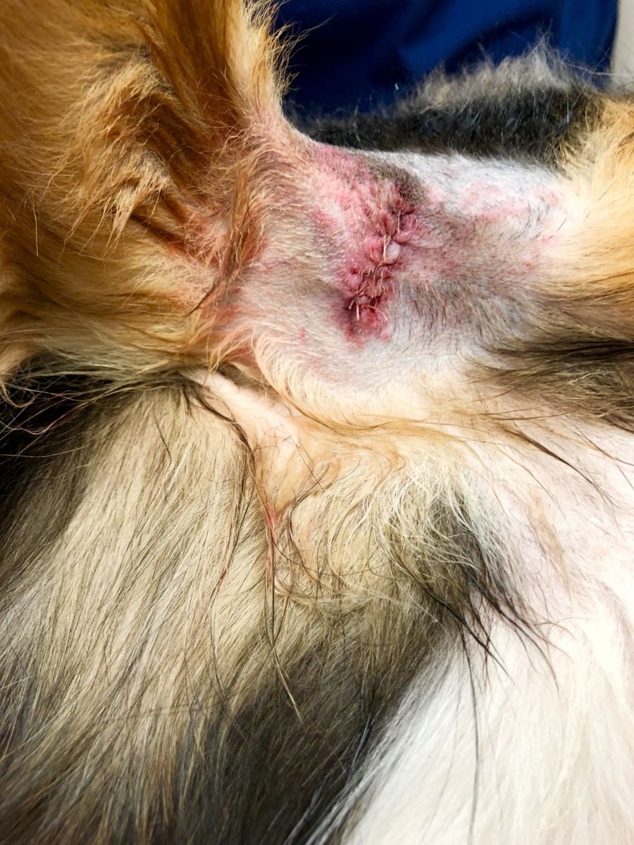 Sutures on a canine surgery