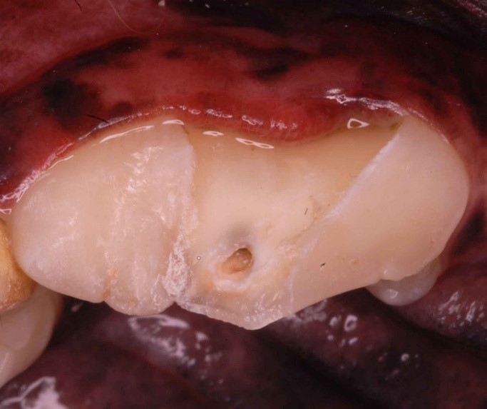 Fractured carnassial tooth